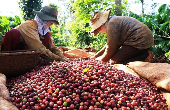 Bloomberg: 'Người trồng cà phê Việt ém hàng chờ giá cà phê tăng giá trở lại'