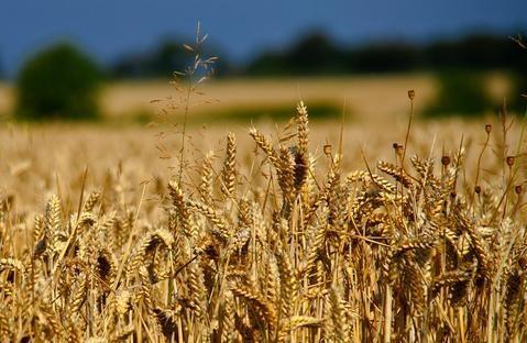Trung Quốc tuyên bố biện pháp chống bán phá giá đối với lúa mỳ của Mỹ