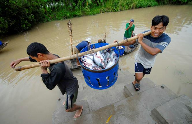 Chiến tranh thương mại Mỹ - Trung, cơ hội cho cá tra Việt Nam