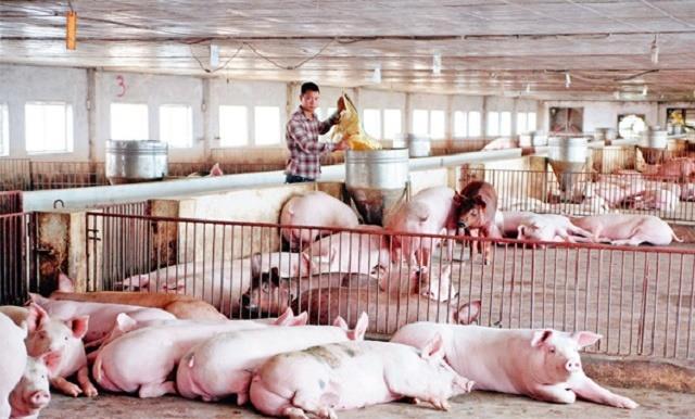 Giá lợn hơi tăng mức cao