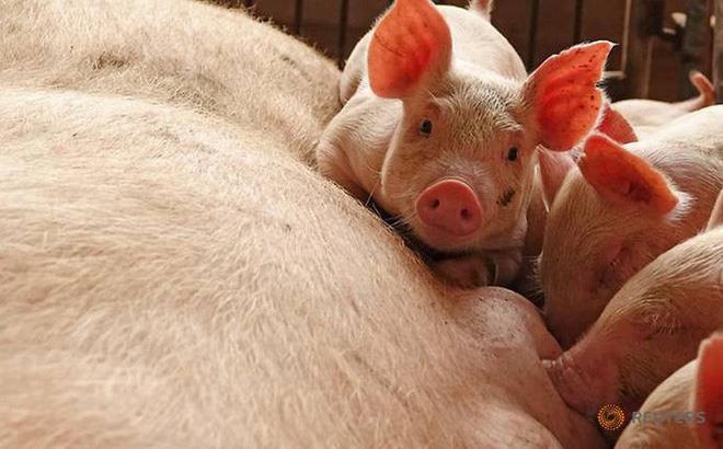 Trung bình hơn 1 ngày lại phát hiện dịch tả lợn châu Phi ở một tỉnh