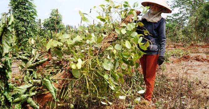 """Người trồng tiêu, cà phê lỗ nặng vì bị """"bẻ kèo"""": Phớt lờ chỉ đạo của tỉnh"""