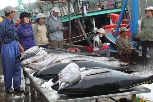 Tại sao cá ngừ Việt Nam xuất sang Trung Quốc tăng 771%?