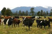 Giá sữa thế giới tăng trong 10 phiên đấu giá liên tiếp