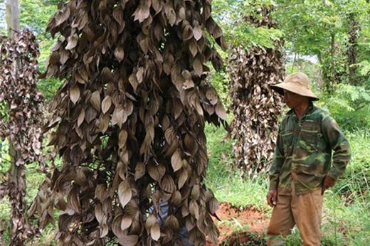 Khách vay vốn trồng tiêu ở Gia Lai bỏ vườn ra đi, ngân hàng vào cuộc tháo gỡ