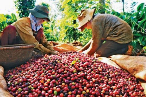 Xuất khẩu sang Trung Quốc, cà phê Việt bị trả giá rẻ nhất