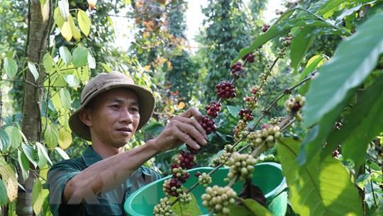 Giá cà phê, tiêu tăng nhẹ trở lại trong tuần đầu tiên của tháng 8